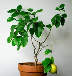 zitronenbaum richtige pflege zimmerpflanze blumentopf