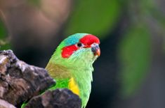 Owing to their adorable looks, lovely temperament, and ease of care, Musk Lorikeet is a popular choice for singles and apartment dwellers. Bird Breeds, Cockatoo, Birds, Pets, Behavior, Personality, Animals, Colors, Health