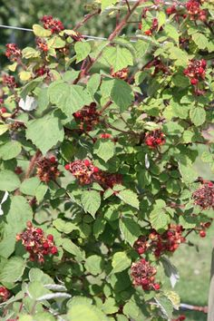 Buy Japanese wineberry Rubus phoenicolasius 'Japanese wineberry': Delivery by Crocus