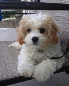 cavachon+reviews (453×567) Cute Baby Dogs, Really Cute Puppies, Cute Dogs And Puppies, Cute Baby Animals, Pet Dogs, Doggies, Cavachon Puppies, Cockapoo Puppies, Little Dogs