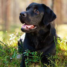 Cool Dude! Birthday Blank Card Senior Black Labrador Dog Fast Freepost!
