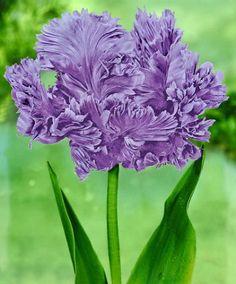Tulip 'Blue Parrot' | Flower Bulbs from Spalding Bulb