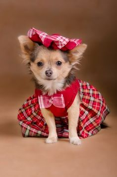 Is there anything cuter than cute Chihuahua puppy pictures? Chihuahua Clothes, Cute Chihuahua, Chihuahua Puppies, Pet Clothes, Cute Puppies, Cute Dogs, Dogs And Puppies, Chihuahuas, Doggies