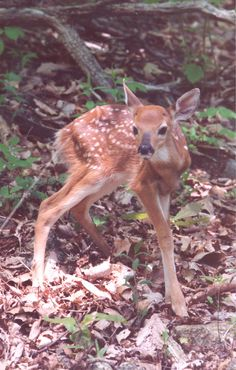 Newborn Fawn in Shenandoah National Park. Photographed by Clifford Weinhold.