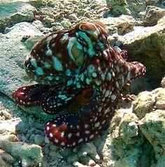 Octopus at Ruahatu Lagoon Sanctuary, Bora Bora