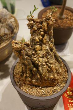 https://flic.kr/p/PozYxX | Cephalopetandra scirrhosa  - CSSA 2016.JPG