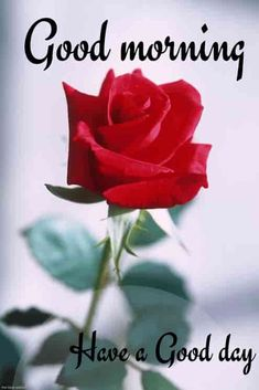 Beautiful Good Morning Images [ Best Collection ] good-morning-wallpaper-with-red-rose Good Morning Beautiful Flowers, Good Morning Images Flowers, Good Morning Roses, Good Morning Picture, Good Morning Greetings, Good Morning Good Night, Morning Pictures, Good Morning Motivation, Good Morning Quotes For Him
