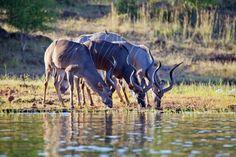 Ob direkt am Sambesi-Fluss oder an einem der Wasserlöcher in den Nationalparks: Die Tiere beim Trinken oder Baden zu beobachten, ist ein beeindruckendes Erlebnis. Foto: djd/Abendsonne Afrika