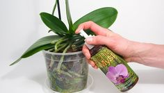 Orchid plant care - How to Revive an Orchid from Dying This Really Works beyond Imagination – Orchid plant care Orchids In Water, Indoor Orchids, Orchids Garden, Indoor Plants, Growing Orchids, Growing Flowers, Planting Flowers, Orchid Plant Care, Orchid Plants