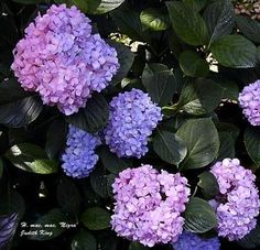 I have lots of shade at the new house and I think Blue Hydrangeas would look amazing in the front...