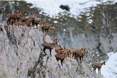 Abruzzo, camoscio parco Majella