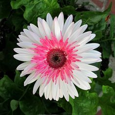 Lollipop Watermelon Gerbera Daisy Flower ~ Gerbera Jamesonii