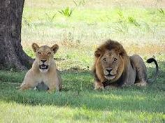 Let your kids read fun facts about lions and let them answer this FREE fun science worksheets on Lions. Click here: http://easyscienceforkids.com/lions-activity-sheet-best-free-science-printables-for-kids-find-the-words-game/