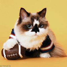 The cute kitten is dressed in a American football shirt and poses with a ball in one of his many shoots