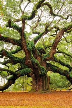 Angel Oak Park on Johns Island, South Carolina. What a stunning tree.