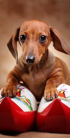"""""""Trouble walking as it is!"""" #dogs #pets #Dachshunds Facebook.com/sodoggonefunny"""