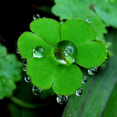 "dranilj1: "" Raindrops…on clover.Wish can find four-leaved clover.幸運草上的雨珠. by Pan.101 on Flickr. """