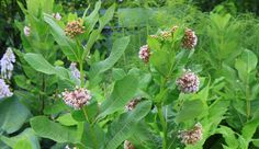 Asclepias syriaca, Milkweed or Butterfly Flower