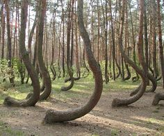 """The """"Crooked Forest"""", Poland."""