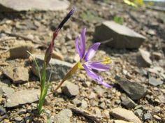 Geissorhiza karooica