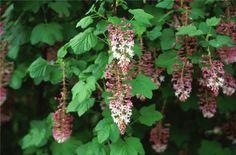 Plant photo of: Ribes sanguineum glutinosum