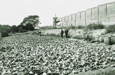 What is now the Ecoscience Precinct at Boggo Road looked like this back in 1915 - a massive cabbage patch! Trusted prisoners worked outside the prison walls in vegetable gardens, and sales of produce raised a healthy £103 during that year. The prison to the left is the old No.1 Division, long since demolished.