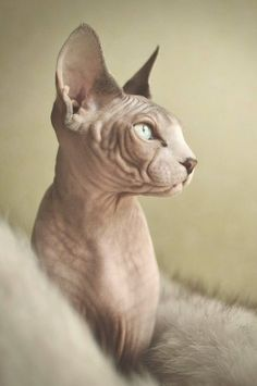 Someone from Alberta is cheating cat lovers by selling them shaved kittens. These shaved kittens were sold in the market as the hairless Sphynx cats. Sphynx Gato, Chat Sphynx, Hairless Cats, Kittens Cutest, Cats And Kittens, Cute Cats, Funny Cats, Big Cats, Tattoo Gato