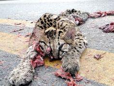 Ao visitar o turismo ecológico de Bonito e Pantanal no Estado de Mato Grosso do Sul, fiquei perplexo de ver uma quantidade enorme de animais mortos por veículos nas estradas. Tamanduás, raposas, tatus, onças, capivaras. Os animais que fui para ver e fotografar tive o desprazer de ver em primeira mão atropelados e mortos na beira das rodovias. Contei mais de cem antes de parar de contar. Muito triste!