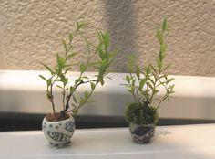 Super mini bonsai Spiraea old and new