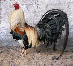 gallos finos - Buscar con Google
