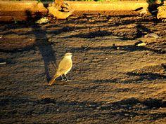 Suiriri-Cavaleiro --{ Birds }--