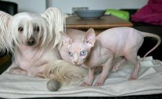 Hairless Cat and Friend