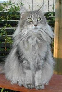 Classic blue tabby Maine coon.  My adopted cat, Yankee Blue Clipper Ship.  I didn't name him, obviously.