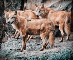 Tibetan Wolves (Canis Lupus Chanco) | Flickr - Photo Sharing!