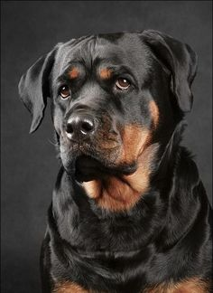Photos of dogs Rottweiler breed Big Dogs, Cute Dogs, Dogs And Puppies, Beautiful Dogs, Animals Beautiful, Cute Animals, Sweet Dogs, Rottweiler Breed, Dog Paintings