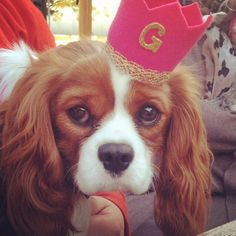 Charlie the Cavalier Crown. Charlie the Cavalier Begs for Attention.