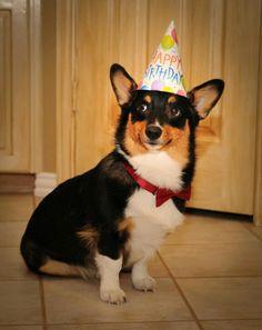 Corgi Birthday Girl..