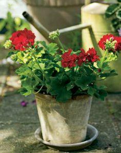 Half and Half. Riippapelargonit ovat suosittuja parvekekukkia | Tunne pelargonit | Koti ja puutarha Plants, Plant, Planets
