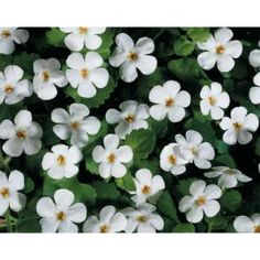 Proven Winners Snowstorm Giant Snowflake Bacopa (Sutera) Live Plant, White Flowers, in. White Plants, Orchid Plants, White Flowers, Beautiful Flowers, Purple Flowers, Beautiful Bride, Proven Winners, Plant Information, How To Attract Hummingbirds