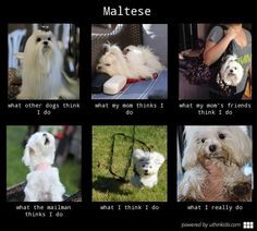 the truth about Maltese