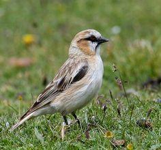Rufous-necked Snowfinch(Pyrgilauda ruficollis)
