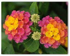 GROW IT: Lantana 'Landmark™ Rose Sunrise' blooms orange and gold sunrise tones then turns to beautiful ROSE! HEAT tolerant and DEER resistant! Plant in full SUN. BONUS: attracts butterflies and HUMMINGBIRDS! ✿✿✿