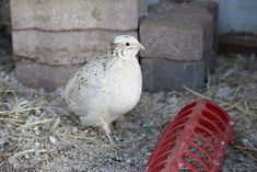 How to Raise Quail for Eggs and Meat | Self Sufficiency, Livestock and Homesteading Ideas by Survival Life at http://survivallife.com/how-to-raise-quail/