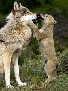 Wolf cub playing with parent