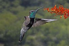 colibries de distintas partes del mundo - Buscar con Google