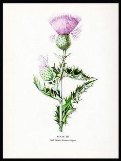 Bull Thistle Botanical Flower Print 1954 Edith Farrington Johnston