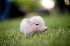 CUTEST PIG EVER! ...  by whisker snaps photo