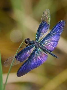 Butterfly Skimmer or Blue Dragonfly (Rhyothemis fuliginosa) China, East Asia Dragonfly Quotes, Dragonfly Images, Dragonfly Art, Beautiful Bugs, Beautiful Butterflies, Animals Beautiful, Flying Insects, Bugs And Insects, Wild Animals Photography