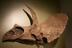 E is for Eotriceratops – Smithsonian, article by Brian Switek. The recently discovered Eotriceratops might yield important clues about how the famous Triceratops evolved.