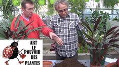 Conseils jardinage: calathea lancifolia: Comment faire la Culture et div...